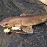a lesser spotted dogfish lying next to bait