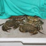 peeler crabs in a bait tray