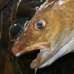 a close up of a cod's head on kelp