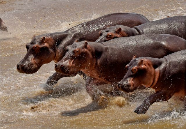 Hippo speed