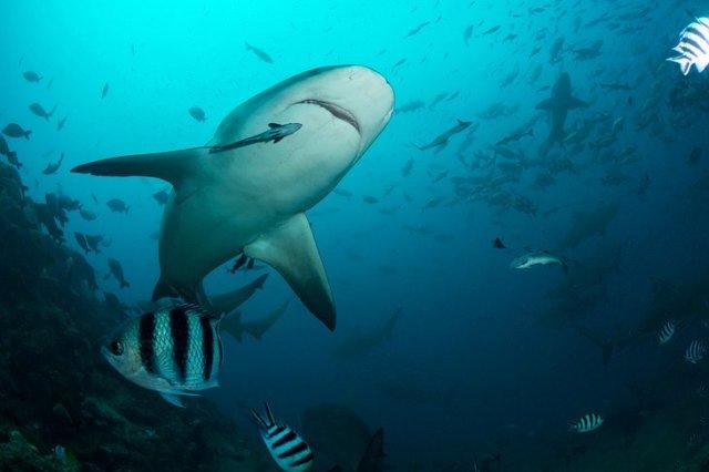 Shark in Beqa Lagoon