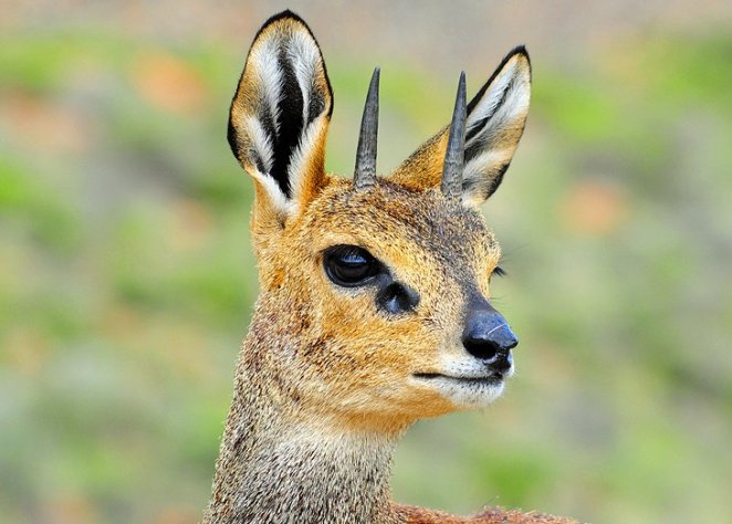 Klipspringer, Karoo National Park