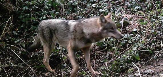 Avistamientos de lobo ibérico Asturias