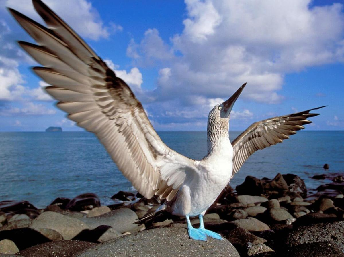 Blue Footed Booby Galapagos