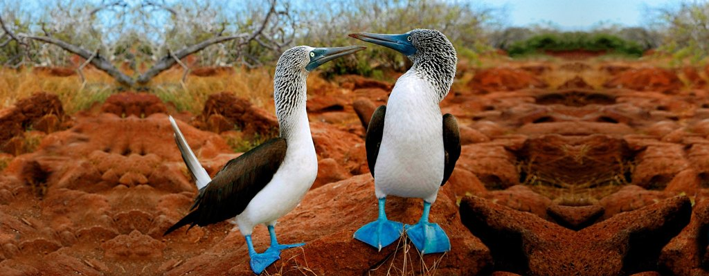 Blur footed boobies birds galapagos