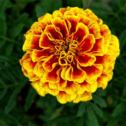 TAGETES PATULA SEEDS (French Marigold) - Plant World Seeds