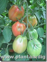 Coeur-de-Boeuf-tomaten-Fourstar (3)