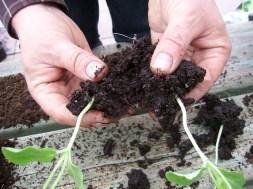 20 april ** Voorzichtig scheiden van de planten, laat zoveel mogelijk grond rond de plant