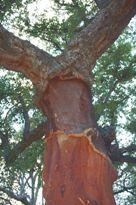 Quercus_suber
