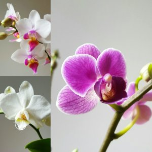 Petite Moth Orchid colours (clockwise from right) Purple, White, Soft Pink