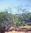 Propiedades medicinales de la Mimosa tenuiflora o Tepezcohuite