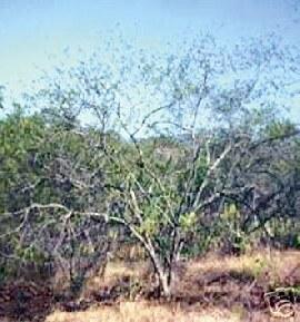 Árbol del Tepezcohuite