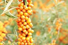 El Espino Amarillo como Planta Medicinal. Propiedades y usos