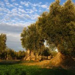 Presión alta? Remedio natural con hojas de Olivo
