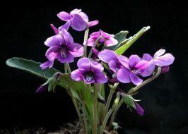 Violetas: usos medicinales y cómo cultivar violetas en casa