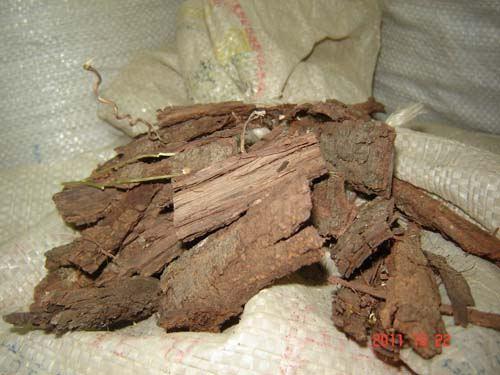 TEPEZCOHUITE como planta Medicinal