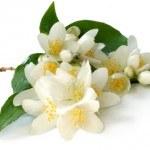 Jazmín: propiedades y usos cómo planta medicinal