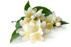 Propiedades beneficiosas del Jazmín. Usos en aromaterapia como planta medicinal