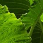 WILD YAM (Dioscorea villosa). Beneficios para la salud