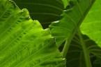 WILD YAM o Dioscorea villosa. Usos medicinales y Beneficios para la salud