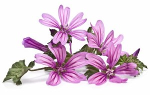 Malva: propiedades medicinales para curar bronquitis, tos, hemorroides...