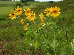 Árnica: usos medicinales como desinflamante y Analgésico natural