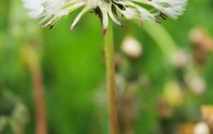 Diente de León: Taraxacum mongolicum. Beneficios y usos medicinales