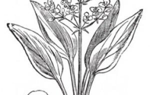 Perder líquidos con remedios naturales: Alisma orientale, planta diurética