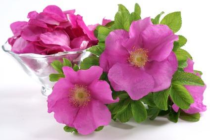 rosa china propiedades medicinales