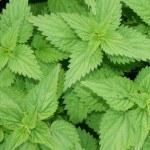 Remedios con Ortiga: Composición, Beneficios y Usos Medicinales