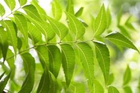 Árbol de Neem: propiedades beneficiosas para acidez, diabetes, artritis, curar la piel...