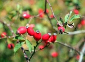Rosa Mosqueta: conoce sus Beneficios y Usos Medicinales