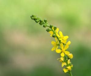 Agrimonia pilosa Ledeb. Propiedades en Medicina Tradicional China