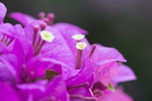 Bugambilia: Flor contra la tos, el estreñimiento y la fiebre