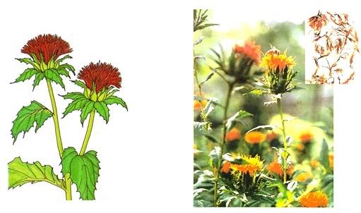 Flores de Azafrán chino o flor de cártamo. Carthamus tinctorius L.