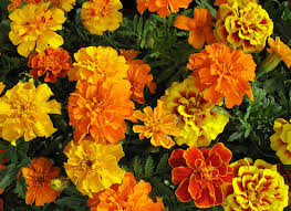 Tagetes (Clavel de Moro o de la China)