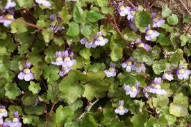 Linaria cymbalaria
