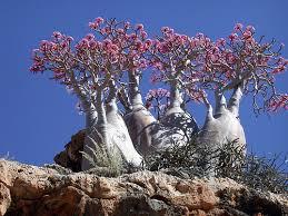 Adenio: «Rosa del desierto»