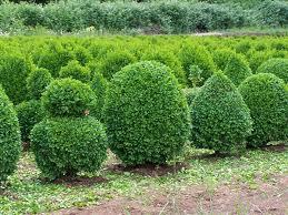 Boj (Buxus Sempervirens) 3
