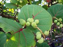 "Coccoloba uvifera (""uvas de playa"")"