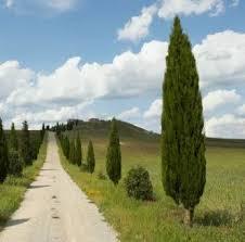 El Ciprés (Cupressus sempervirens): un árbol cultivado desde la antigüedad