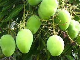 Mango («Árbol de fruto delicioso»)