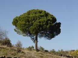 """Los Pinos (""""Pinus"""") 4"""