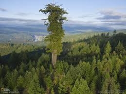 ¿Cuál es el árbol más grande del mundo?
