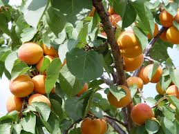"Albaricoquero (""Prunas armeniaca""): árbol del damasco 5"