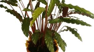 Calatea («Calathea crocata»)