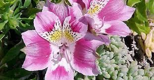 Peregrina ó Mariposa de Los Molles («Alstroemeria peregrina»)