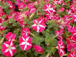 Petunia hybrida: una planta de hermosas flores 1