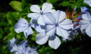 """La Celestina ó Jazmín azul (""""Plumbago capensis"""")"""