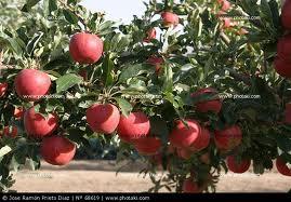 El Manzano: uno de los árboles frutales más cultivados